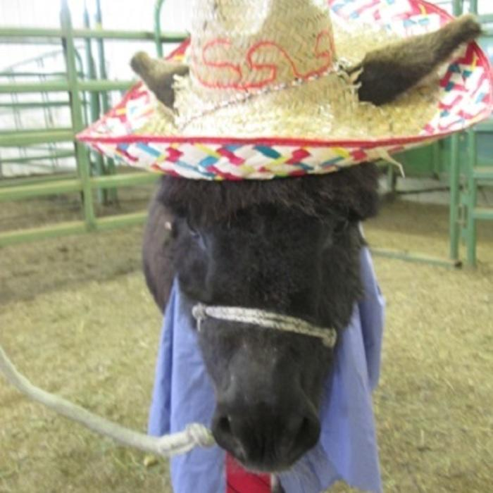 Boo<Br>Resident Mini Donkey, Clinic Ambassador  photo